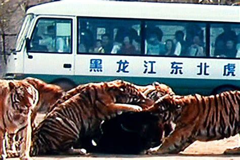 tigers feast on live cow in zoo show | metro news