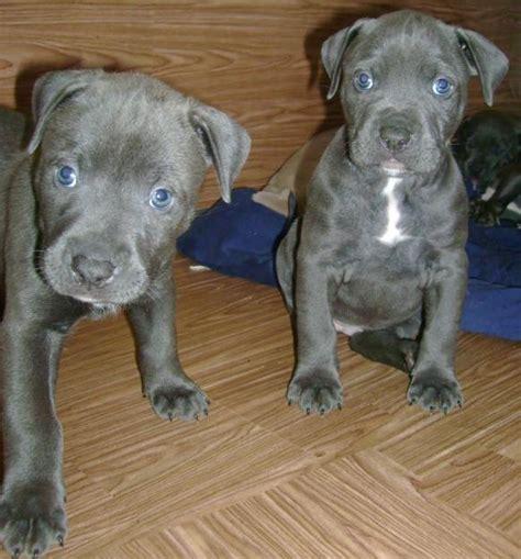 photos of pits blue nose pitbulls animals