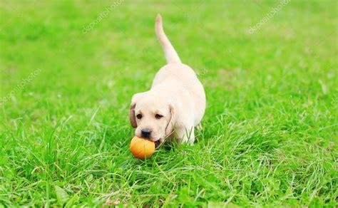 labrador rubber st beautiful puppy labrador retriever with rubber