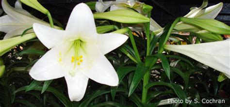 can easter lilies be planted outside easter care