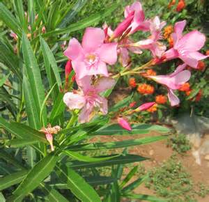 leaves pink flowers shrub oleander a fast and easy growing flowering shrub