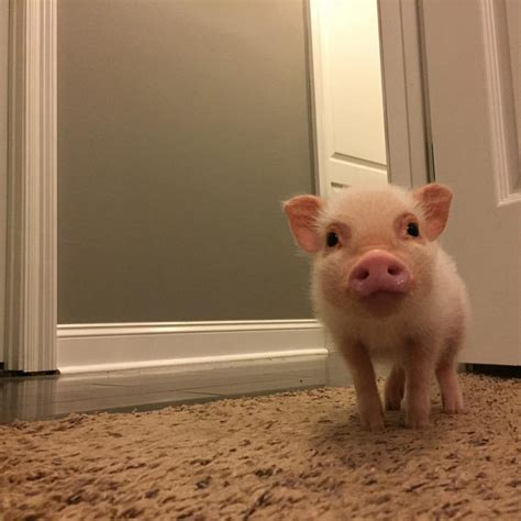 Playful mini pig 'hank' is instagram star for his oink