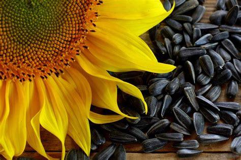 black sunflower seeds protein content health benefits of sunflower seeds human n health