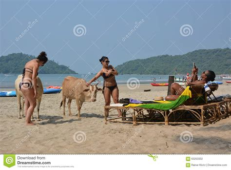 goa biography in hindi indian cows editorial photography image 63253332
