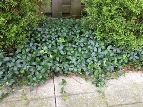 creeping evergreen ground cover best 25 vinca ground cover
