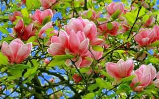 images flowers magnolia hd photo and desktop wallpaper flowers images