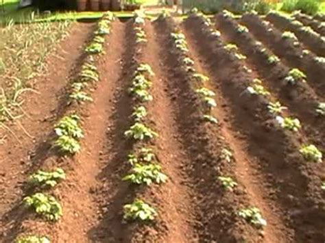 potatoes  planting  harvest youtube