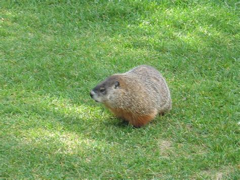 Groundhog Day For Canadian Woodchuck Weather Prediction