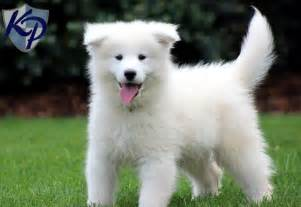 Webster samoyed puppies for sale in pa keystone puppies
