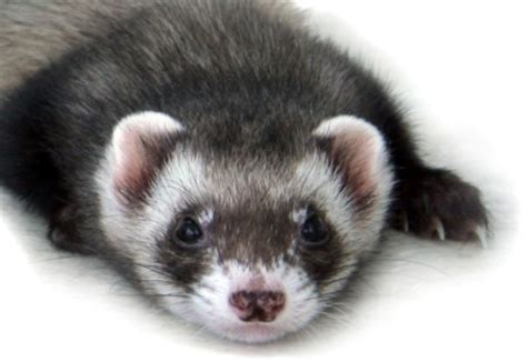 ferrets as pets furred and feathered pets