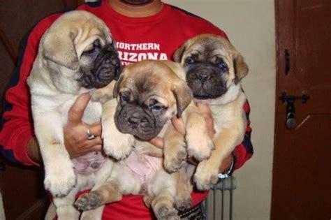 mastiff puppies for sale in ga hair mastiff puppies for sale breeds picture
