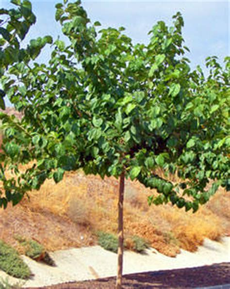 persian mulberry | mulberry trees | willis orchards