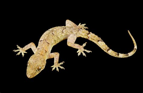 buy house gecko buy house gecko 28 images common house gecko by