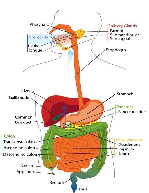 diagram of the digestive system digestive system diagram anatomy digestive