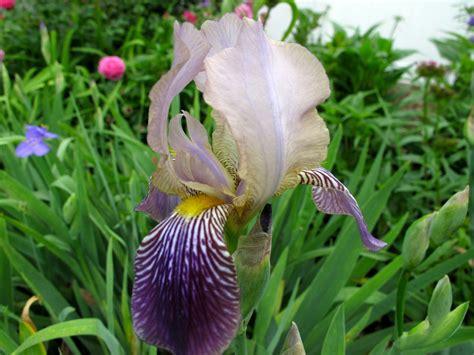 iris germanica bearded iris