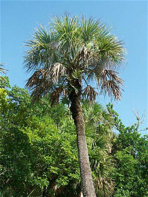 tree store florida florida state tree www pixshark images galleries