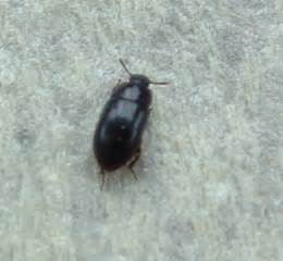brown beetles in bedroom natureplus can anyone identify this black beetle