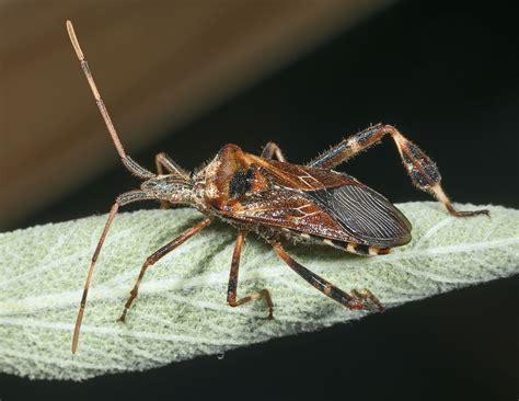 bed bugs wiki western conifer seed bug wikipedia