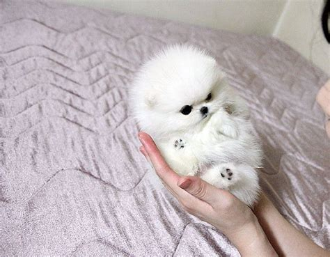 tiny teacup pomeranian best 25 teacup pomeranian puppy ideas on teacup animals pomeranian puppy