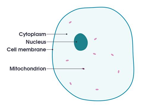 diagram of a cell membrane file simple diagram of animal cell en svg wikimedia