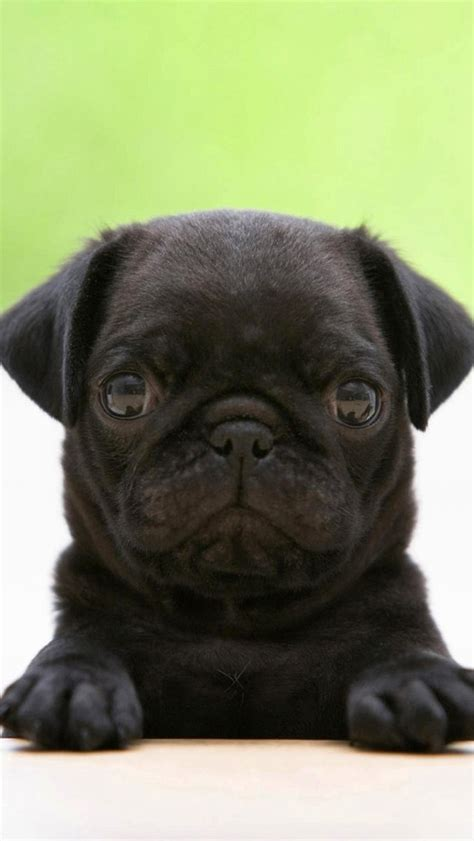 pug negro black pug the iphone wallpapers