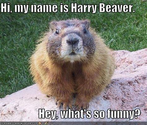Beaver Meme - funny animals funny beaver
