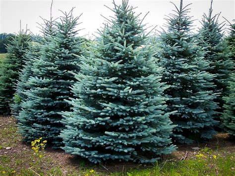 where to buy a tree buy baby blue spruce for sale the tree center