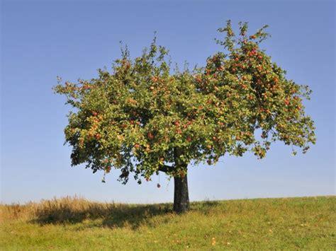 apfelbaum im garten apfelbaum schneiden die anleitung tipps zum richtigen