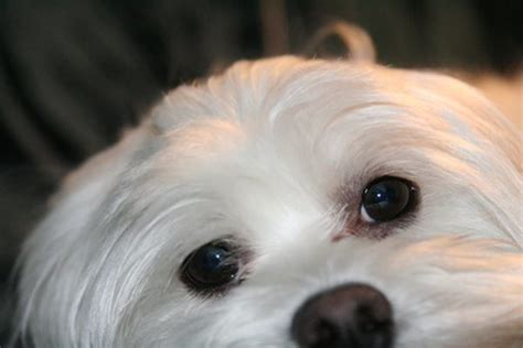 maltese poodle lifespan how to clean tear marks from the of a maltese and a