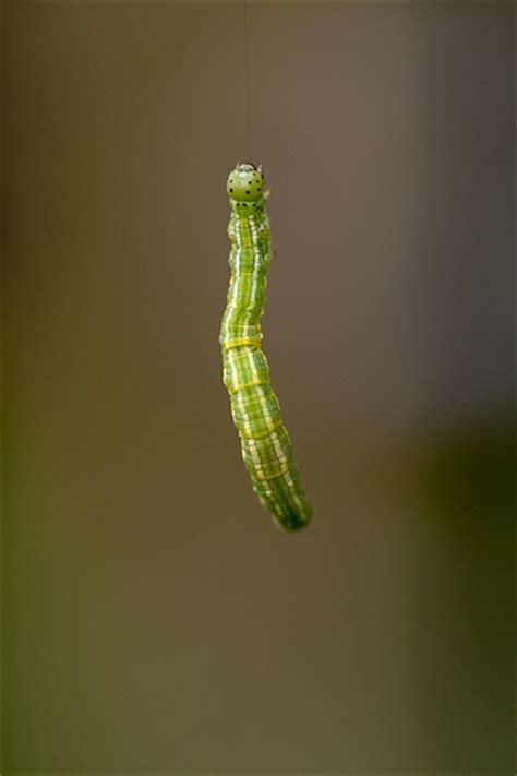 inch worm 7757714846 945288d89b z jpg