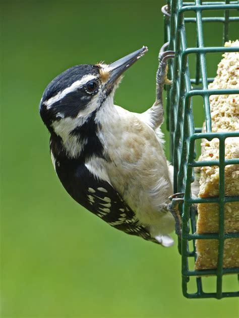hairy woodpecker female at a suet feeder feederwatch