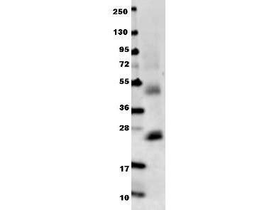 il6 antibody 210 401 310