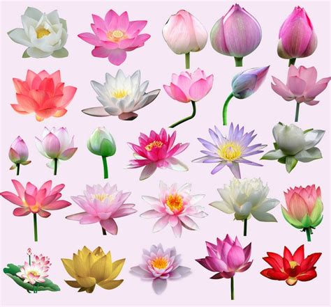 lotus flower information in indian lotus water clip arts psd files edit your