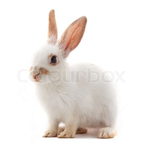 12 Md Rabbit Bery White white small rabbit isolated white background stock photo colourbox