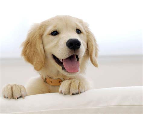 golden retriever puppy in snow puppy of golden retriever wallpaper breeds picture