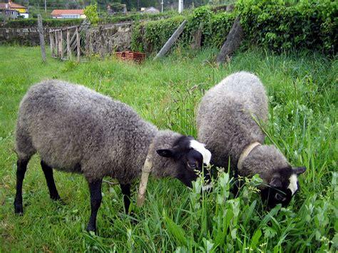 Types Of Hair Sheep by Romanov Sheep Sheep Breeds