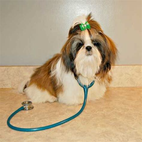 shih tzu spine problems shih tzu health problems 1001doggy