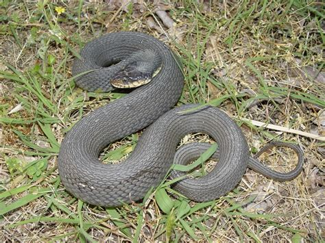 Bm Mocasin King plain bellied watersnake hibians and reptiles of