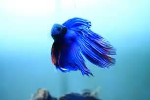 Nature Lover: Betta Fish