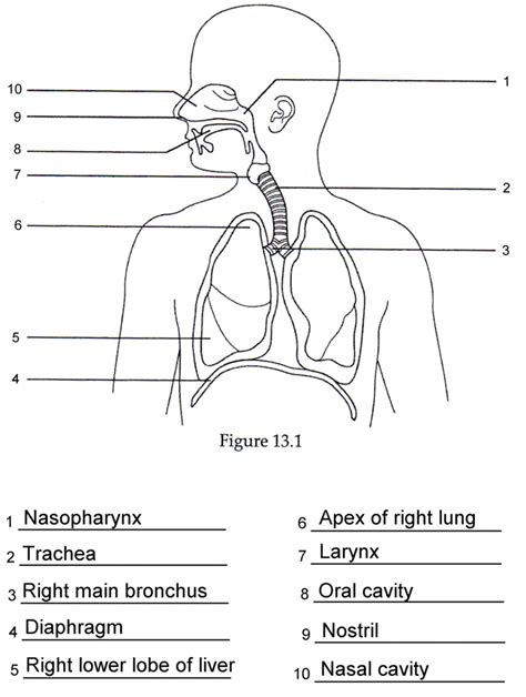 diagram respiratory tract of earthworm human anatomy picture diagram of human respiratory system with labels anatomy organ