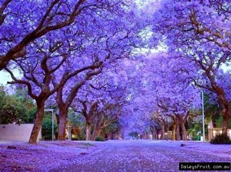 jacaranda mimosifolia jacaranda purple tree