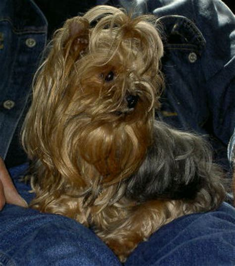 what is liver shunt in yorkies liver shunt stories