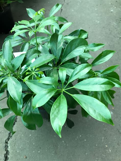 schefflera arboricola dwarf umbrella tree westlake nursery