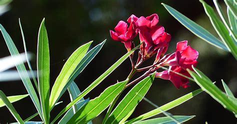 potatura oleandro in vaso oleandro coltivazione e potatura greenstyle