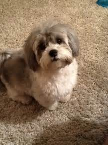 how to cut hair on a shihpoo shih poo dogs pinterest