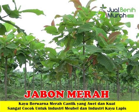 Bibit Pohon Jabon bibit kayu jabon merah 70cm jualbenihmurah