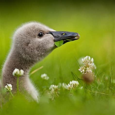 black swan and babies black swan baby 169 robert adamec swans pinterest