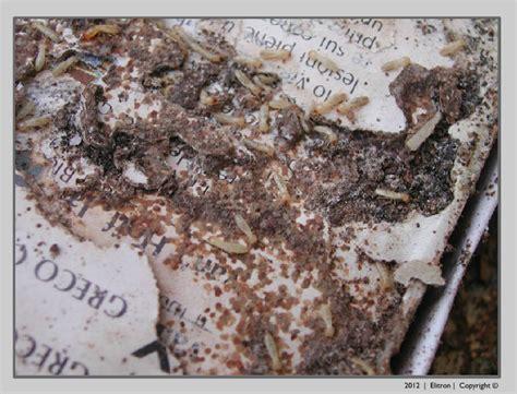 Come Eliminare Definitivamente Le Formiche by Termiti Legno Disinfestazione