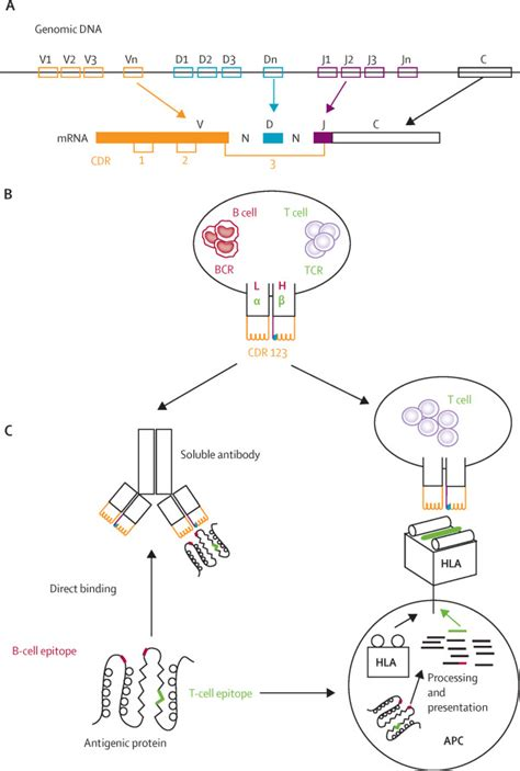 pattern recognition receptors multiple sclerosis the search for the target antigens of multiple sclerosis