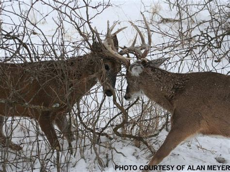 Battling Big Bucks by 56 Best Backcountry Images On Deer